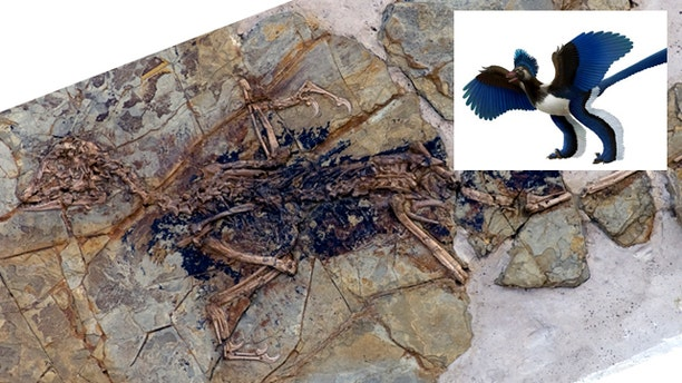 """This undated photo released by Nature shows the fossilized skeleton of what scientists at the Chinese Academy of Sciences in Beijing are dubbing """"Xiaotingia zhengi."""" Its discovery helped scientists propose an evolutionary tree that suggests archaeopteryx is not a bird."""