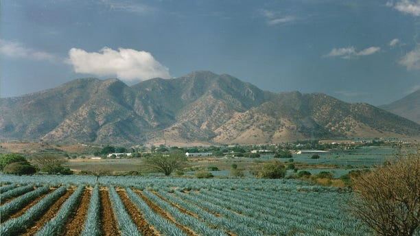 Fields of agave plants