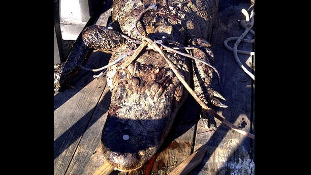This March 3, 2011 photo provided by Texas Parks and Wildlife shows what officials describe as an 11 1/2-foot dead alligator in Bastrop, Texas. The poaching suspect's boastful Facebook postings about shooting the big gator helped authorities track him down.