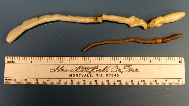 A University of Idaho graduate student found this rare giant Palouse earthworm in 2005.
