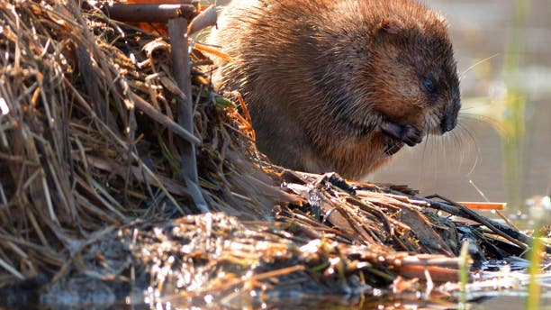 A seemingly harmless beaver.