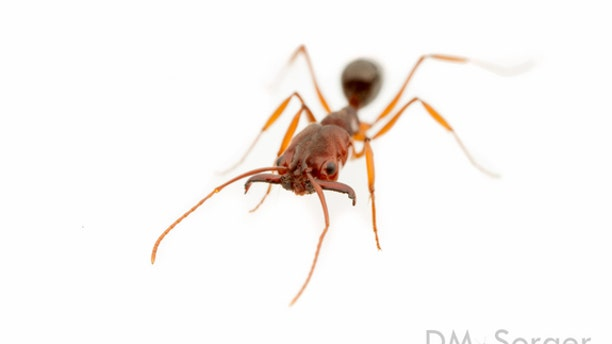 This species of trap-jaw ant, <em>Odontomachus relictus</em>, is only found in Florida. It is a cousin of <em>O. haematodus</em>, a South American species that has recently taken hold along the Gulf Coast.