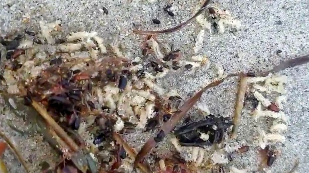 Thousands of maggots were spotted along the shore of Hampton Beach in New Hampshire in early September.