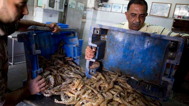 Nov. 9, 2014 photo: Palestinian fishmongers prepare shrimps for export to the West Bank, in their shop in Gaza City. (AP)