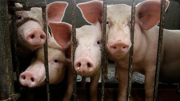 Pigs are seen inside their cage at a farm in La Ca village, outside Hanoi April 27, 2009.   REUTERS/Kham (VIETNAM ANIMALS SOCIETY IMAGES OF THE DAY) - RTXEFD2