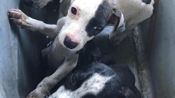 """""""These are like little starving children. They haven't had a good meal in at least a week or two,"""" Kindness Animal Hospital veterinarian Rose Eger said."""