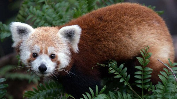 Rusty, a red panda that has gone missing from the National Zoo in Washington D.C.