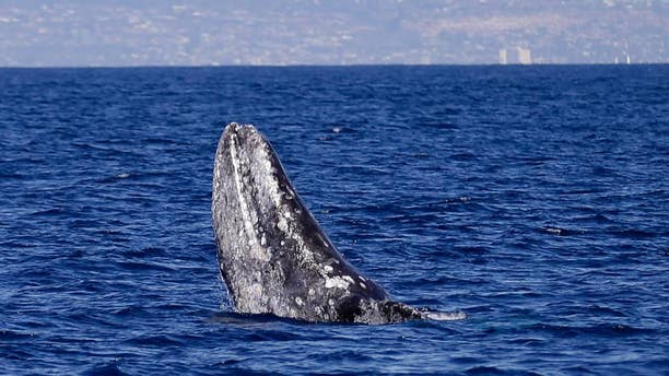 March 5, 2015: A gray whale breaches the surface during a whale-watching trip off the coast of San Diego - file photo.