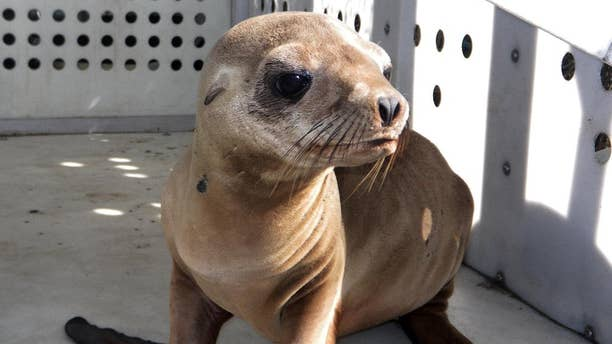 This photo provided by Peter Wallerstein of Marine Mammal Rescue shows a sea lion pup at a MMR facility in the Playa Del Rey area of Los Angeles Sunday, April 19, 2015. It's one of two pups that were found on Dockweiler State Beach just west of Los Angeles International Airport. Witnesses say another pup was abducted from Dockweiler by four people who wrapped the pup in a blanket and left in a car around 3:20 a.m. early Sunday. This pup was found hiding there a short time later. The rescued pup weighs about 25 pounds and is probably 10 months old, said Wallerstein.(Peter  Wallerstein/Marine Mammal Rescue via AP)