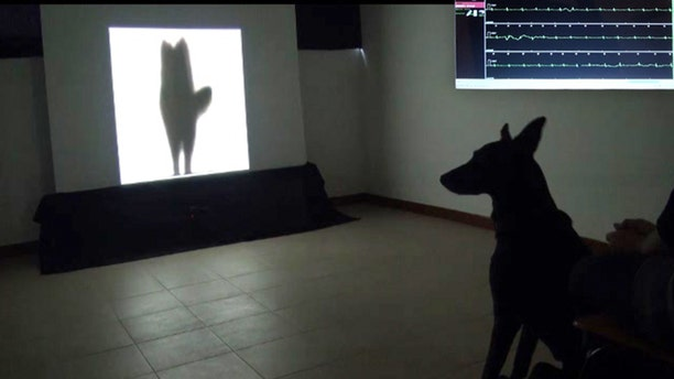 A dog watches a video of the silhouette of another dog wagging its tail to its left. At top right is an inset image of the dog's heart rate while the dog was watching the video.