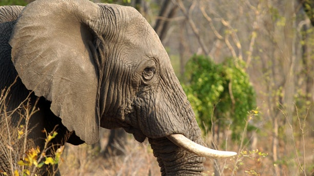 Oct 1., 2015: An elephant is seen in Hwange National Park, about 700 kilometres south west of Harare.