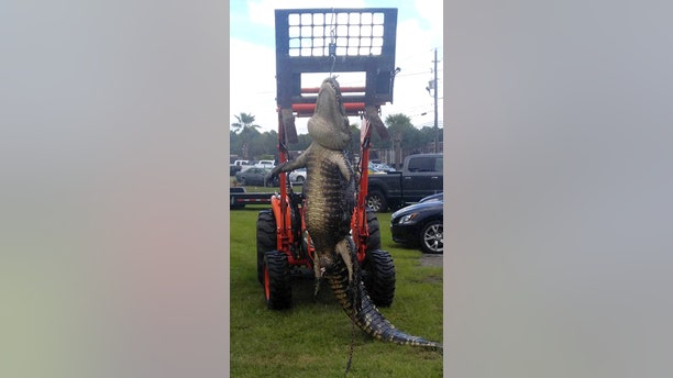 The men had to use a tow assist to get the alligator back to shore.