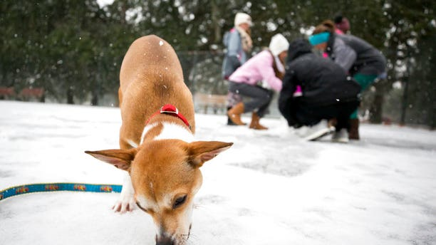 9-month-old Roxie eats snow off the ground at Forsyth Park, Jan. 3, 2018, in Savannah, Ga.