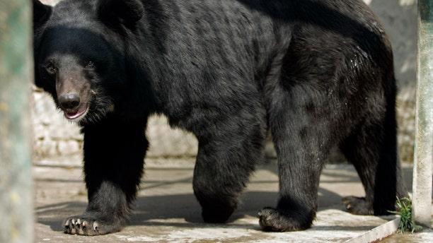 File photo - an Asiatic black bear walks inside its enclosure in Dachigam national park on the outskirts of Srinagar Nov. 12, 2009. (Reuters Life! KASHMIR-WILDLIFE/ REUTERS/Fayaz Kabli)