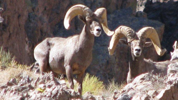 Environmental groups say a herd of about 100 Bighorn Sheep in the Mojave Desert could be affected by the  plant. (National Park Service)