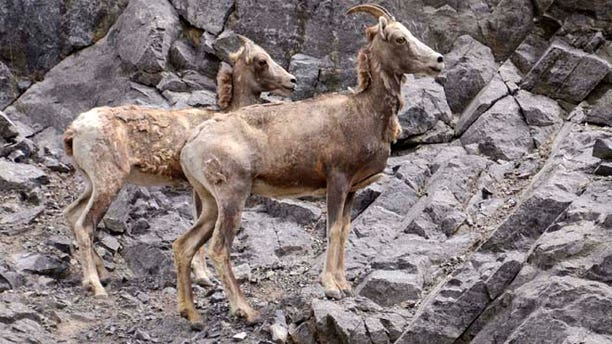 July 19, 2011: A Rocky Mountain bighorn sheep ewe and her lamb climb up the side of a rocky hill in Kananaskis, Alberta.