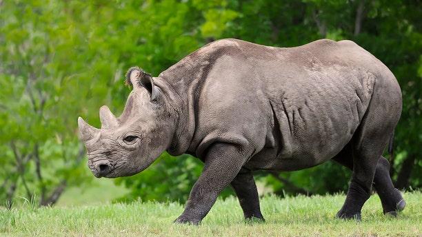 Seven endanger black rhinos died last month in Kenya after being moved between national parks.