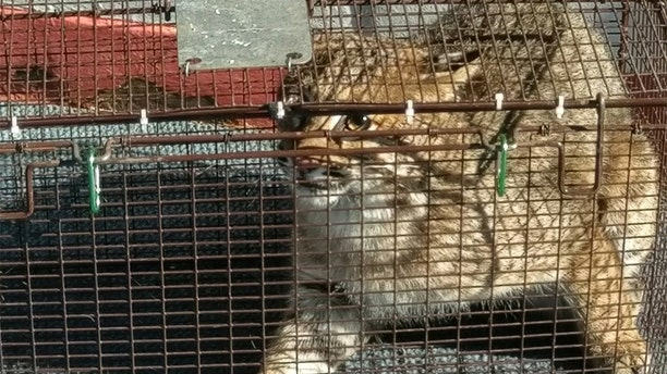 The bobcat will be released back into the wild, Snider says.