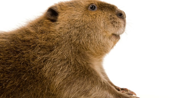 Beavers are among the largest of the rodents.