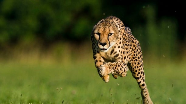 June 20, 2012: An 11-year-old cheetah named Sarah broke a world record by running 100 meters in 5.95 seconds.