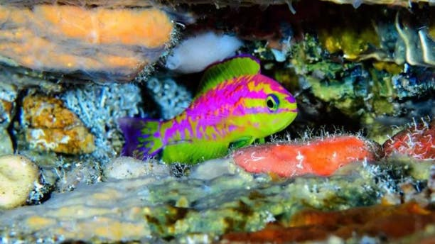 Divers discovered this neon-bright new species of fish in the Atlantic Ocean.
