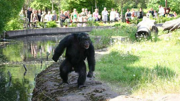 """Santino,"""" a male chimpanzee at Furuvik Zoo in Sweden, is devising increasingly complex attacks against zoo visitors. Here, he postures, looking tough, in front of zoo visitors."""
