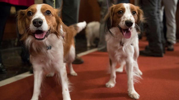 Nederlandse kooikerhondje Escher, right, and Rhett are shown during a news conference at the American Kennel Club headquarters, Wednesday, Jan. 10, 2018, in New York