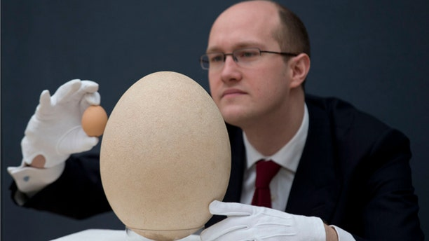 March 27, 2013: Christie's scientific specialist James Hyslop holds up a chicken egg to scale the size of a sub-fossilised pre-17th century Elephant Bird egg as he poses for photographs at the auction house's premises in London.
