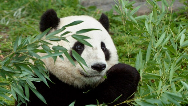 Tai Shan was born at 3:41 a.m. July 9, 2005, weighing only a few ounces at birth. The first cub for mother Mei Xiang (may-SHONG) and father Tian Tian (tee-YEN tee-YEN), he was conceived through artificial insemination March 11, 2005, in a procedure performed by National Zoo scientists and veterinarians.