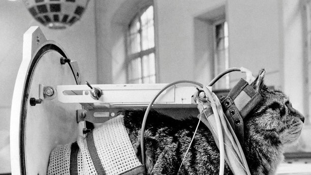 A photo taken on Feb. 5, 1964 shows a cat representing Félicette, the first and only cat to fly to space, with equipment in the Veronique rocket during an exhibition at The Conservatoire National des Arts et Métiers (CNAM; National Conservatory of Arts and Crafts) in Paris.