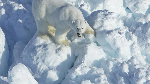A new study has linked a dramatic increase in polar bear attacks on humans with decline of Arctic sea ice.