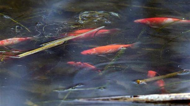 Goldfish swim in the water at Teller Lake No. 5 in  in Boulder County, Colo., on April 3, 2015.