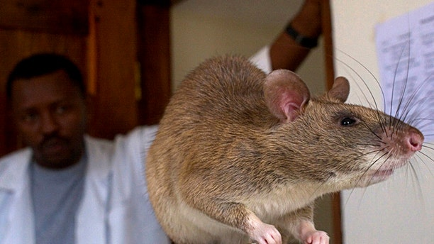 File photo - An African Giant Pouch rat is seen before a training session where the rats will learn to detect tuberculosis (TB) at a laboratory in Sokoine University for Agriculture in Morogoro, Tanzania, January 31, 2006. (REUTERS/Sala Lewis)