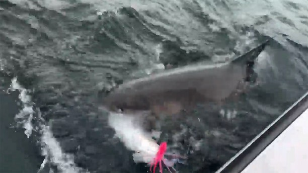 The great white followed the hooked striper all the way back to the boat before swimming off and letting the fishermen reel in what was left of the fish.