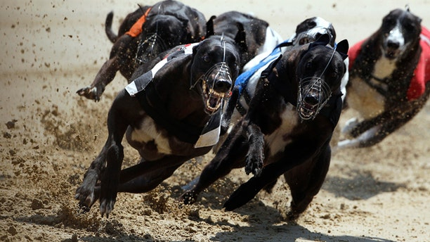 Lavally Sunrise (L) edges past the competition on a curve during a daytime race at Romford greyhound track in Essex June 4, 2011. In 1947, 60,000 spectators were recorded at the Derby at White City, one of 21 greyhound tracks then operating in London. In 2011 the Derby was held at Wimbledon Stadium — now the only dog track left in London— and attendance was just 2,423. Picture taken June 4, 2011. REUTERS/Chris Helgren  (BRITAIN - Tags: ANIMALS SOCIETY) - RTR3ENL1