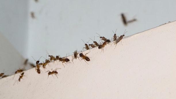 Ant invasion in Tropical North Queensland, Australia