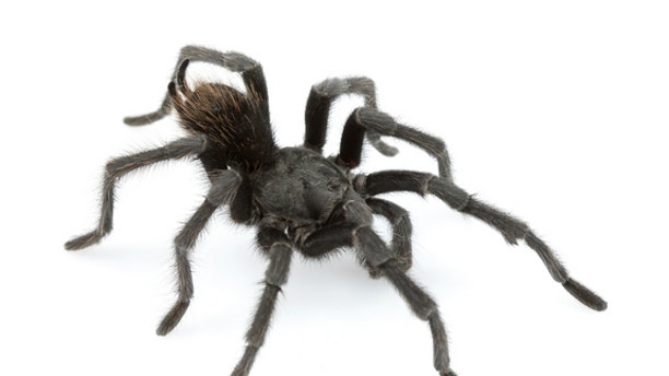 An adult male of Aphonopelma johnnycashi, a new tarantula species named for country singer Johnny Cash.