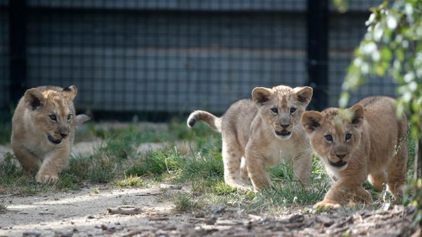 Lion cubs are seen at the Paris Zoological Park in the Bois de Vincennes. Eight lion cubs died after ingesting poison in Uganda.