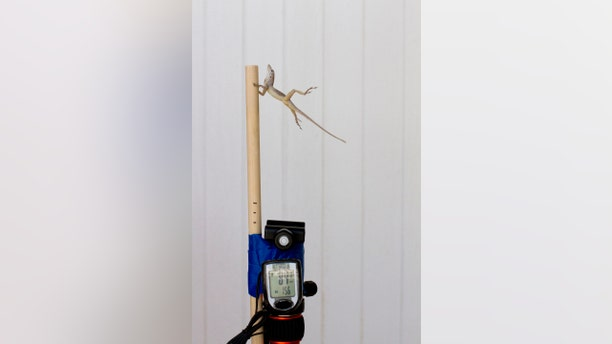 In this Oct. 19, 2017 photo provided by Colin Donihue, an anoles lizard hangs onto a pole during a simulated wind experiment in the Turks and Caicos Islands. According to a study in the Wednesday, July 25, 2018 edition of the journal Nature, lizards who survived 2017's Hurricanes Irma and Maria had 6 to 9 percent bigger toe pads, significantly longer front limbs and smaller back limbs, compared with the population before the storms. (Colin Donihue via AP)