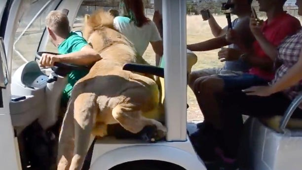 Oleg Zubkov, the park owner, stayed close while the lion climbed over tourists in the car.