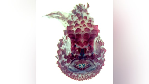 A view of the Pacific spiny lumpsucker in white light.