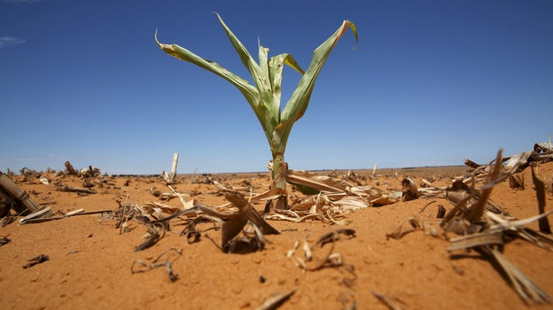 File photo - A maize plant is seen among other dried maize at a field in Hoopstad, a maize-producing district in the Free State province, South Africa, Jan.13, 2016. (REUTERS/Siph Sibeko)