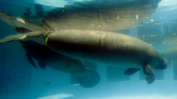 Aug 6, 2014: Manatee Phoenix, foreground, who's tail was disfigured and damaged by a boat propeller, swims at the Miami Seaquarium in Key Biscayne, Fla. (AP)