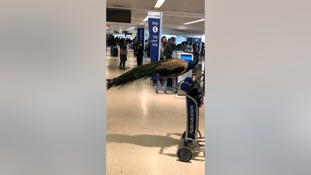 United's decision to deny the peacock comes on the heels of Delta's controversial crackdown of support animals.