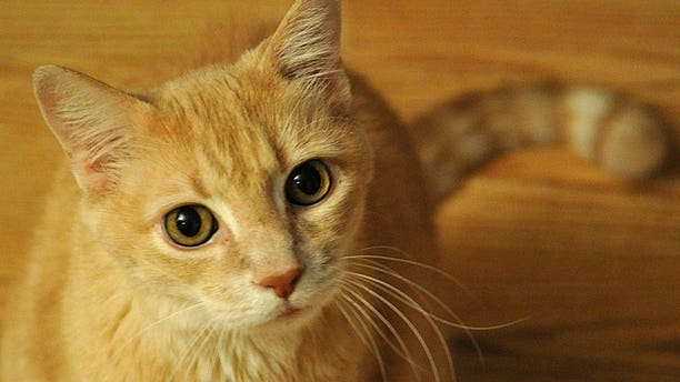 Forensic scientists are set to publish Britain's first database of cat DNA so that it can be used for solving future crimes, the University of Leicester said.