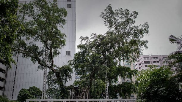 A 400-year-old banyan tree is seen in Kowloon Park in Hong Kong on August 23, 2013. The tree will be cut down, authorities said Friday, after being hit by a fungal disease brought on when a park development starved its roots of oxygen and nutrients.