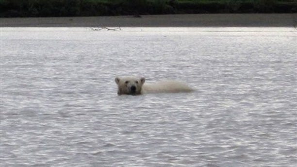 In this photo provided by Philomena Keyes, a polar bear is seen in the lower Yukon River on Tuesday, July 20, 2010 near the village of Emmonak, Alaska. (AP)