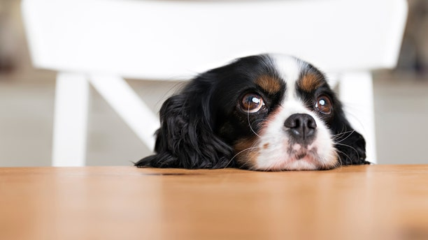 cute dog begging for food at the kitchen table