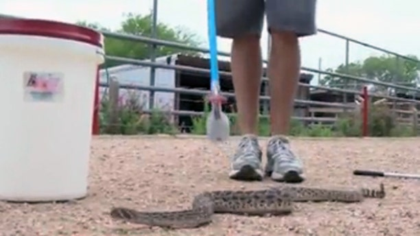 This rattlesnake was found at a New Braunfels, Texas, school bus stop.