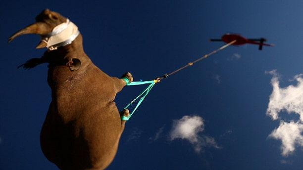 Suspended from a helicopter, a critically endangered black rhino (sedated) takes a 10-minute flight to a vehicle destined for a new habitat safe from poachers.